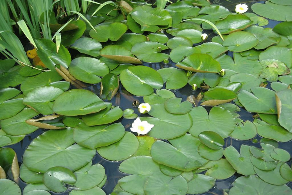 Landscape Creations – Lily Pond 4
